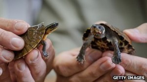 endangered turtles